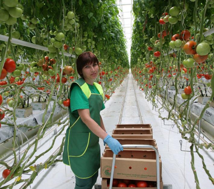 Выращивание овощей на предприятии 849