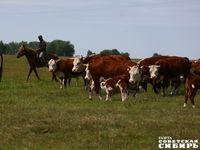 Поднять село поможет корова